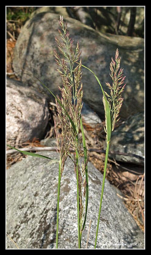 Bergrørkvein (Calamagrostis epigejos)
