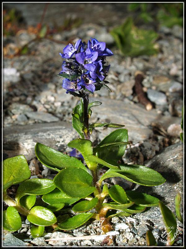 Fjellveronika (Veronica alpina )