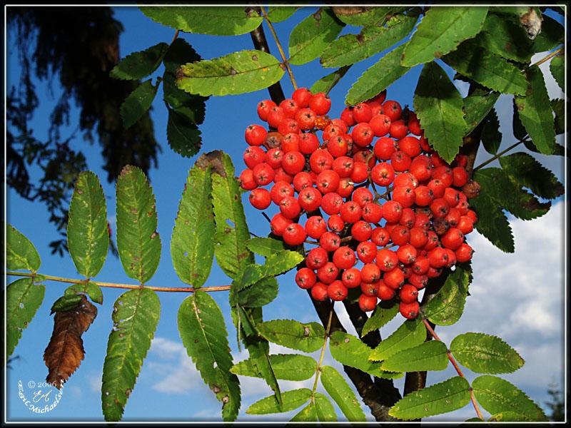 Rogn Sorbus Aucuparia
