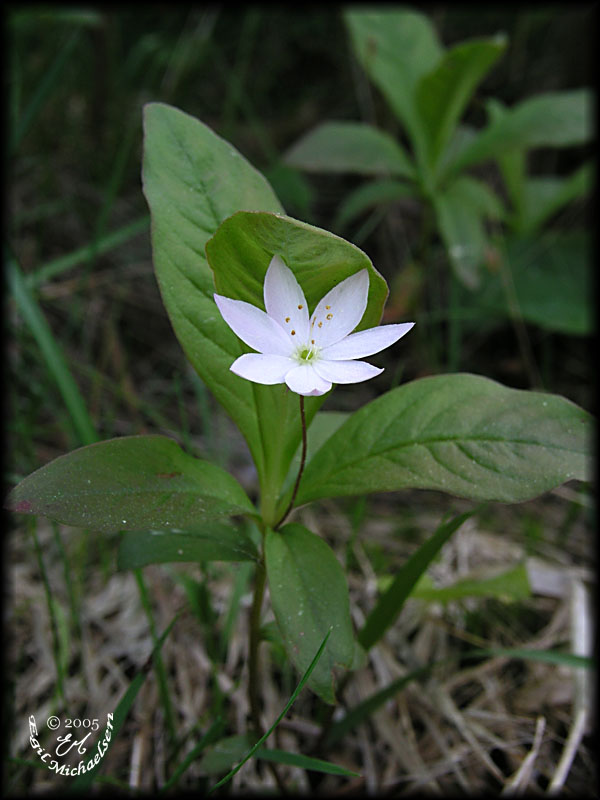 Skogstjerne (Trientalis europaea)