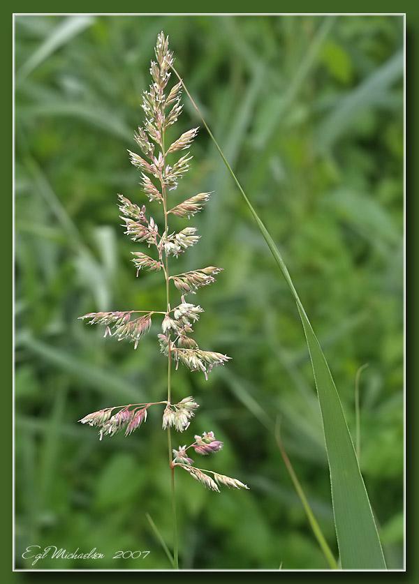 Strandrør (Phalaris arundinacea)